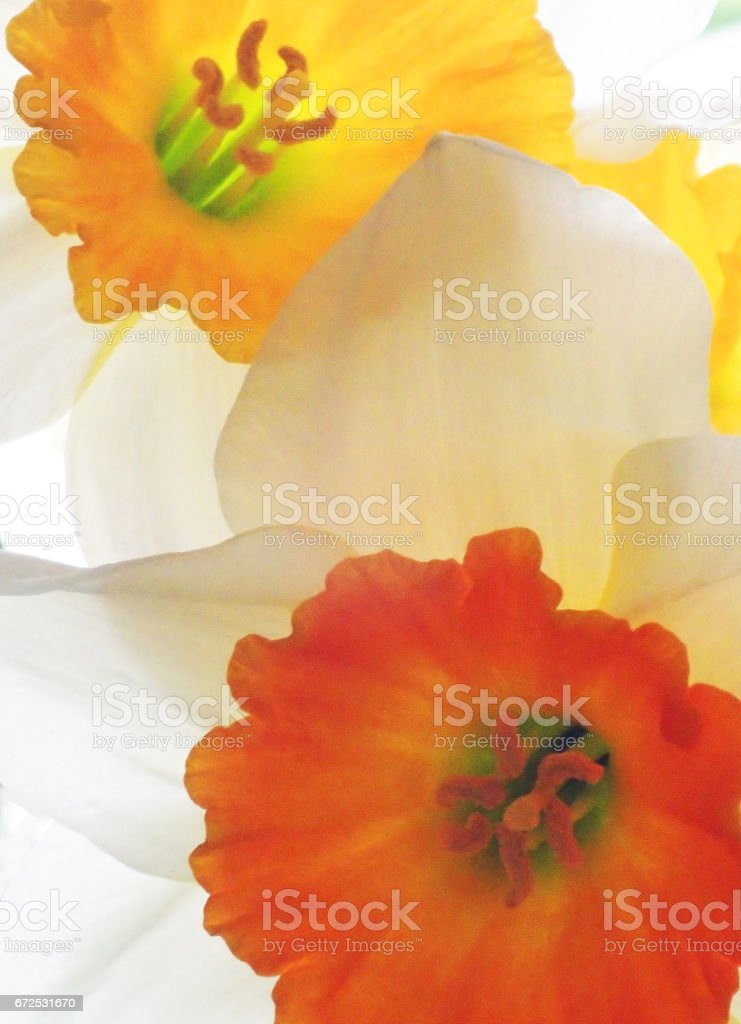 Two different narcissus flowers stock photo