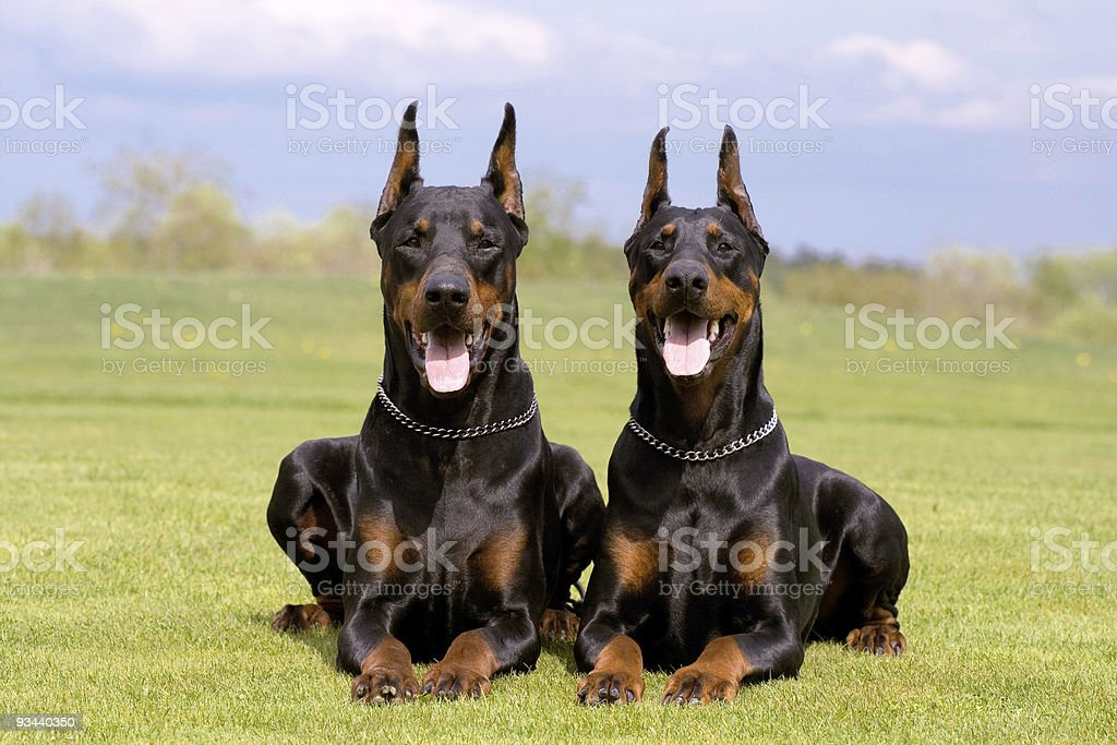 two dobermans royalty-free stock photo
