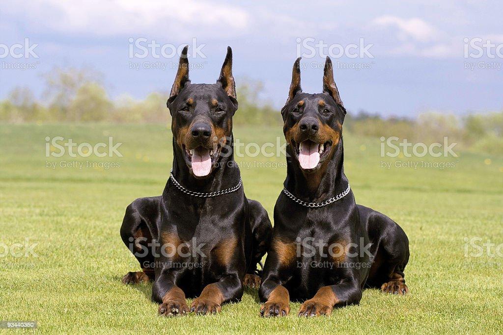 two dobermans stock photo