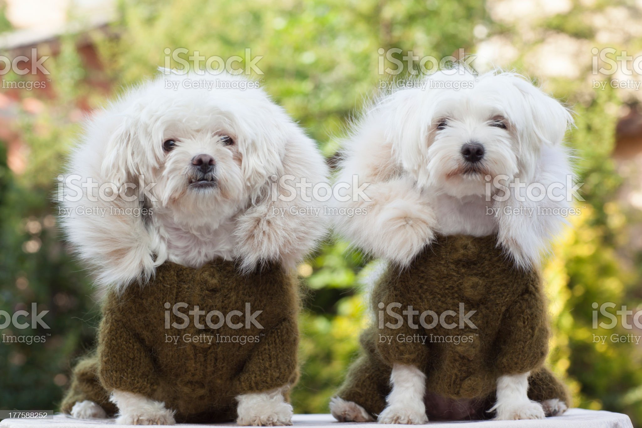 Two dog with clothes royalty-free stock photo