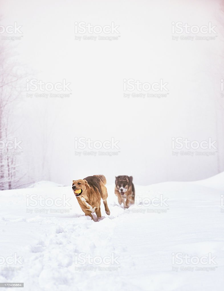 Two dogs chasing in Foggy Winter royalty-free stock photo