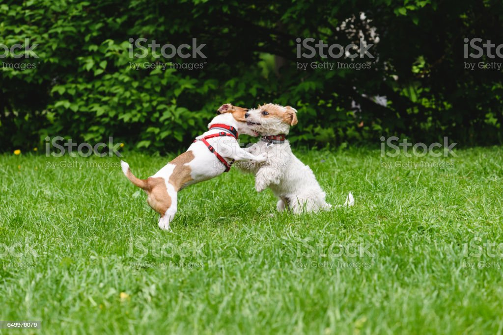 Two dogs hugging  and kissing while rearing up stock photo