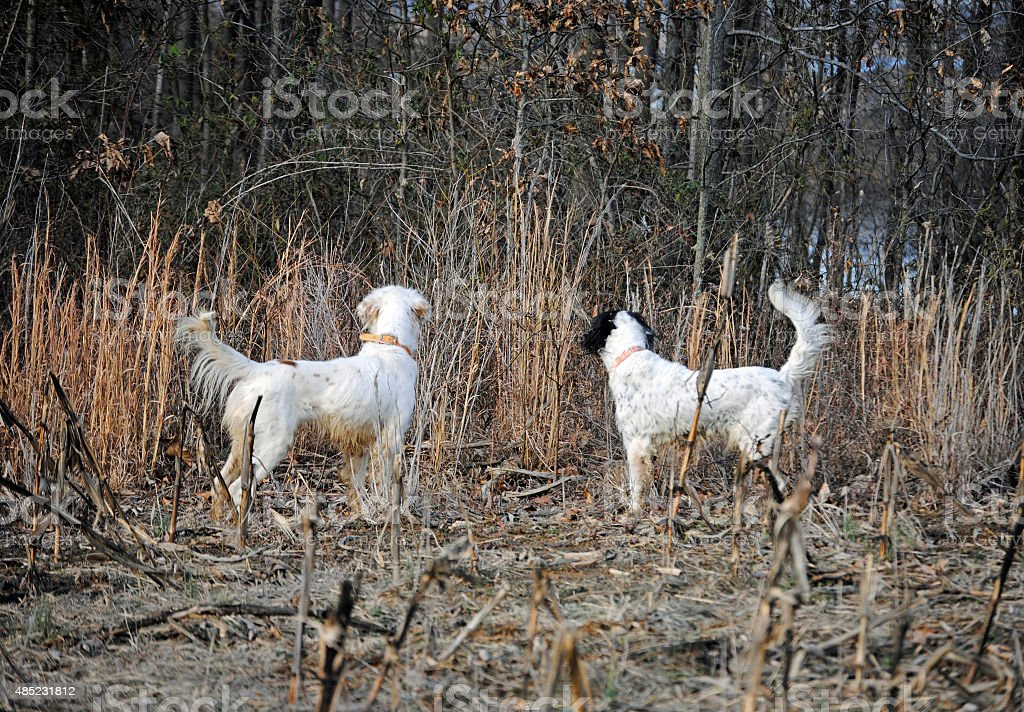 Two Dogs Hunting stock photo