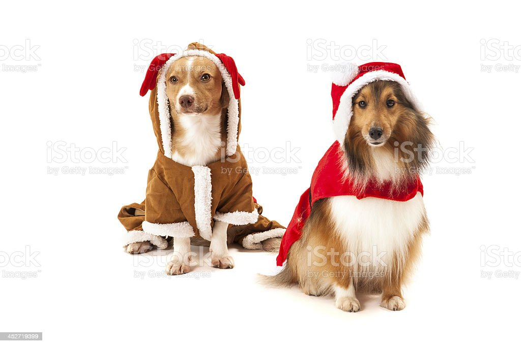 Two dogs in santa dress royalty-free stock photo