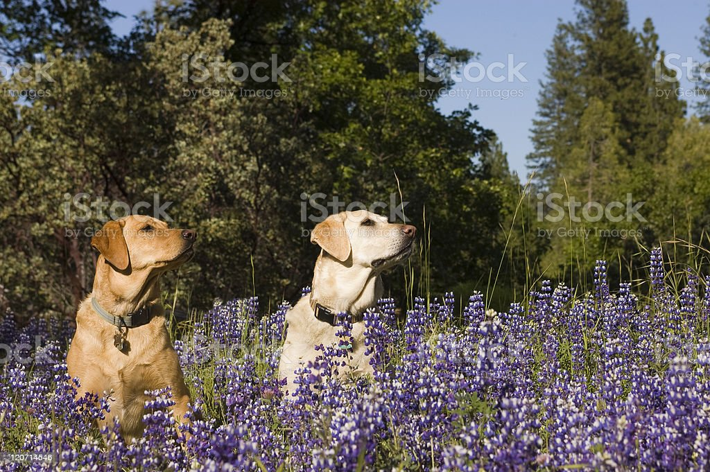 two dogs in the flowers stock photo