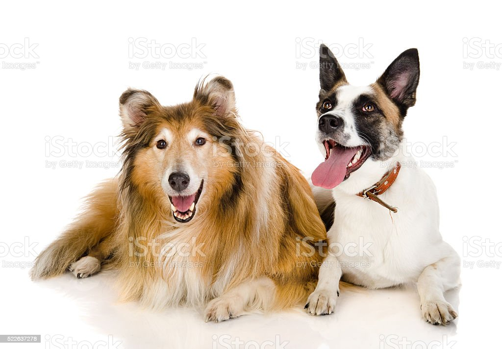 two dogs looking at camera . isolated on white background stock photo