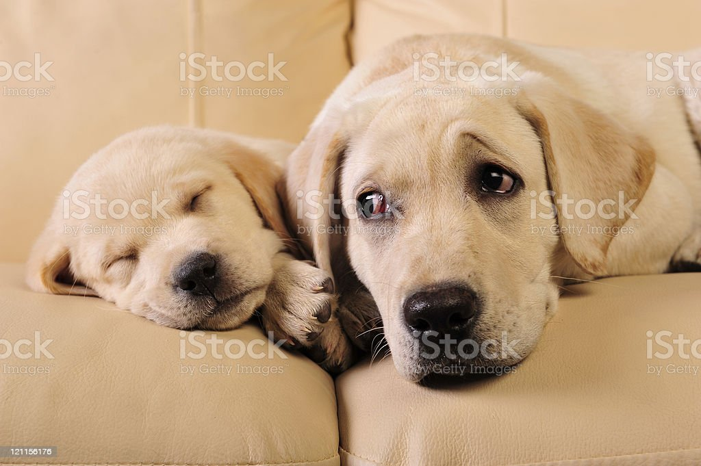 Two dogs lounging on the couch stock photo