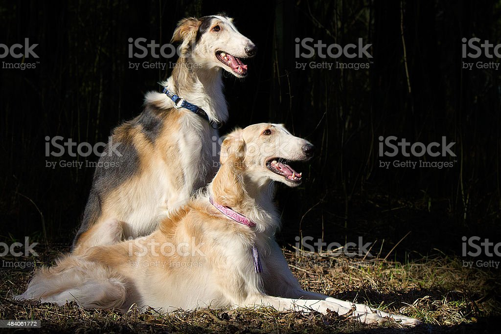 Two dogs on a halt stock photo
