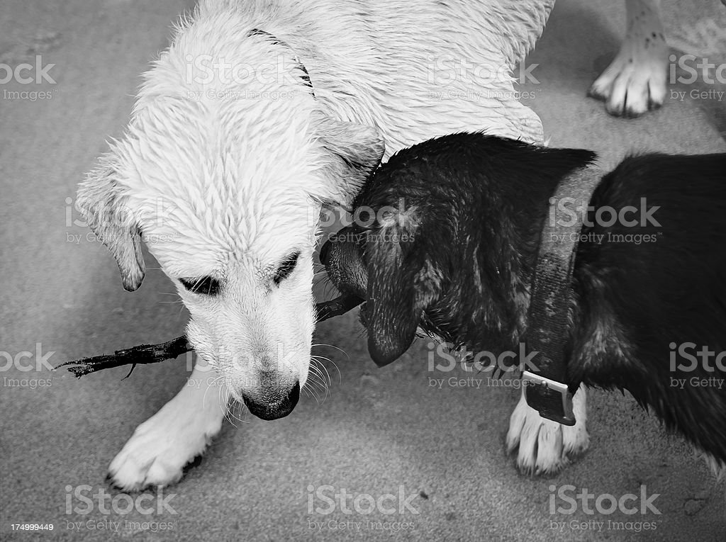 Two Dogs One Stick royalty-free stock photo