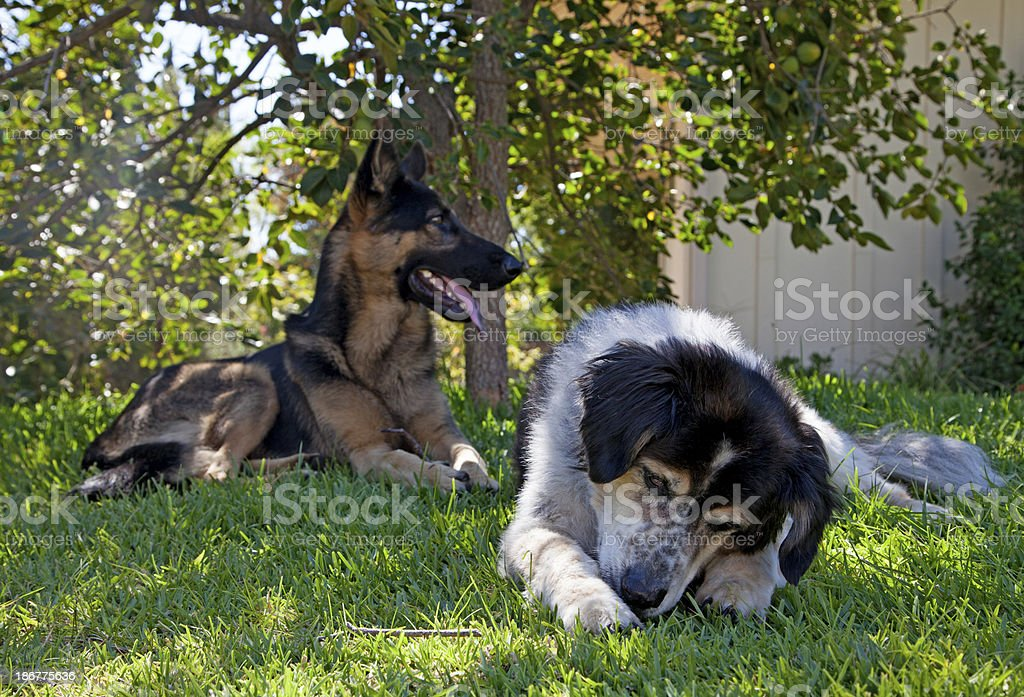 Two dogs outside on the grass royalty-free stock photo