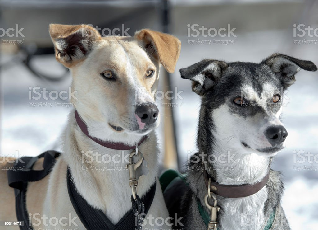 Two sled dogs focused stock photo