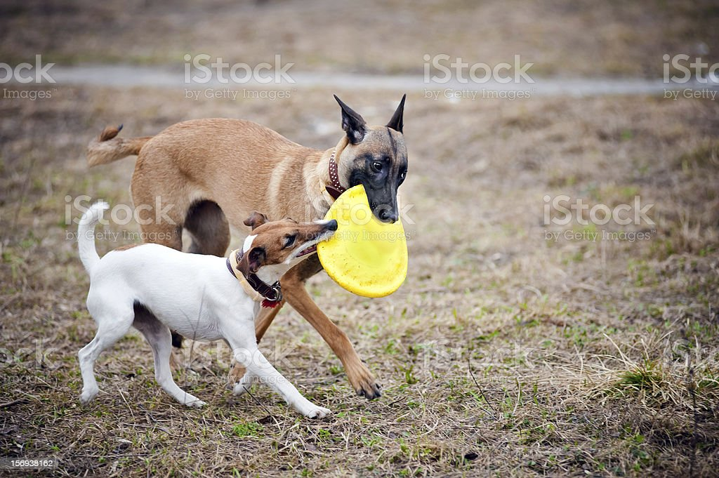 Two dogs play with toy together stock photo