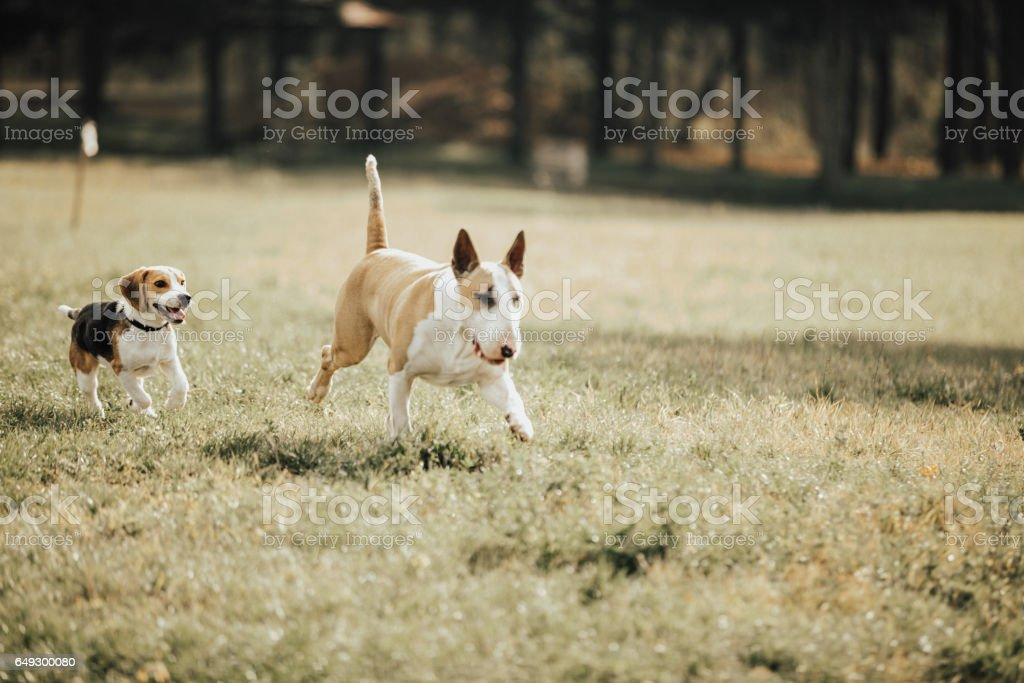 Two dogs playing in the park stock photo