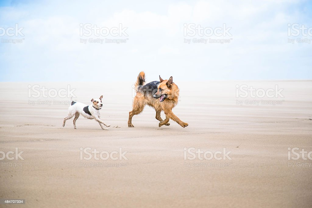 two dogs playing on beach stock photo