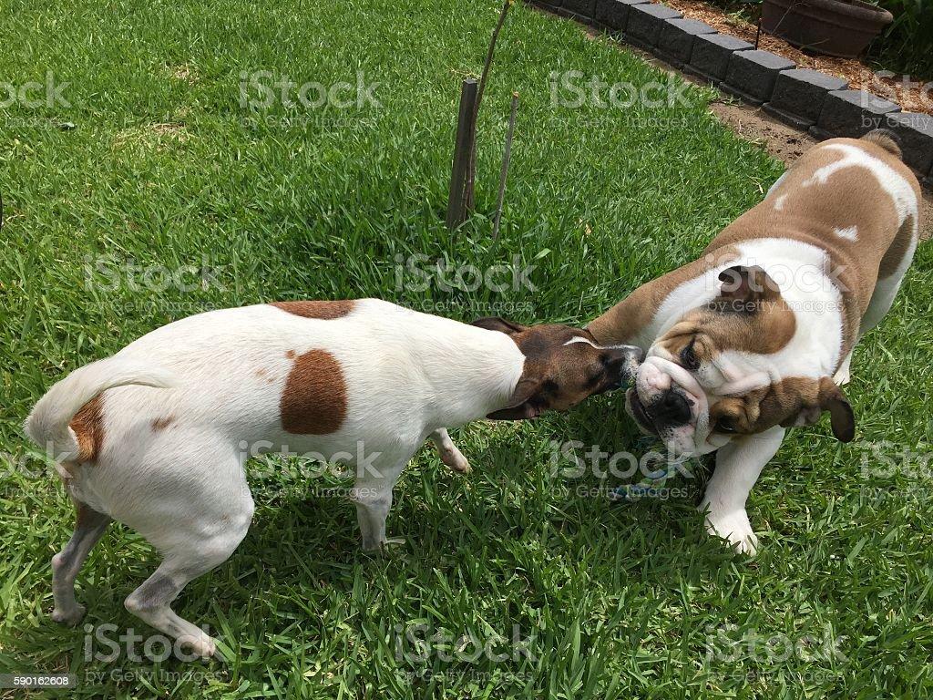 Two dogs playing tug-of-war in garden foto de stock libre de derechos