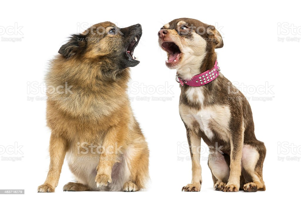 Two dogs shouting at each other stock photo