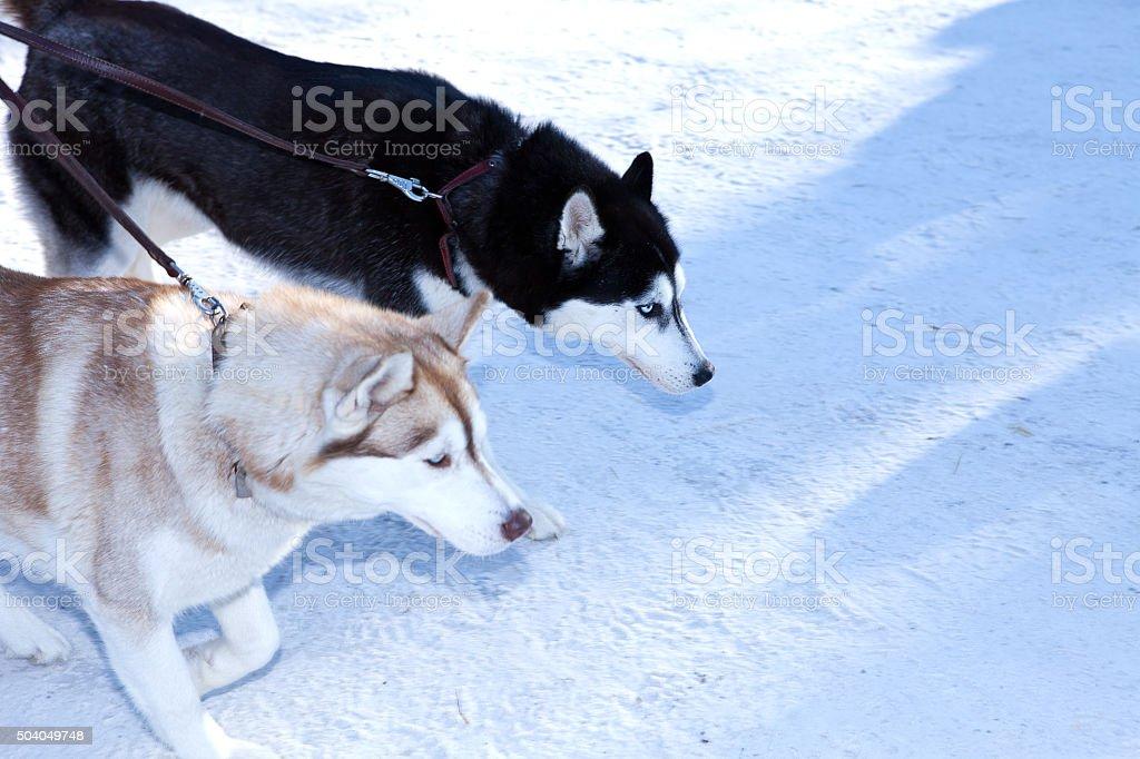 Two dogs Siberian Husky stock photo