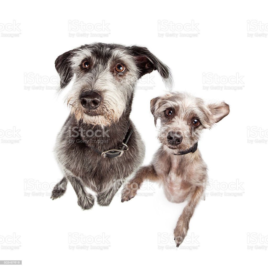 Two Dogs Standing Up Begging stock photo