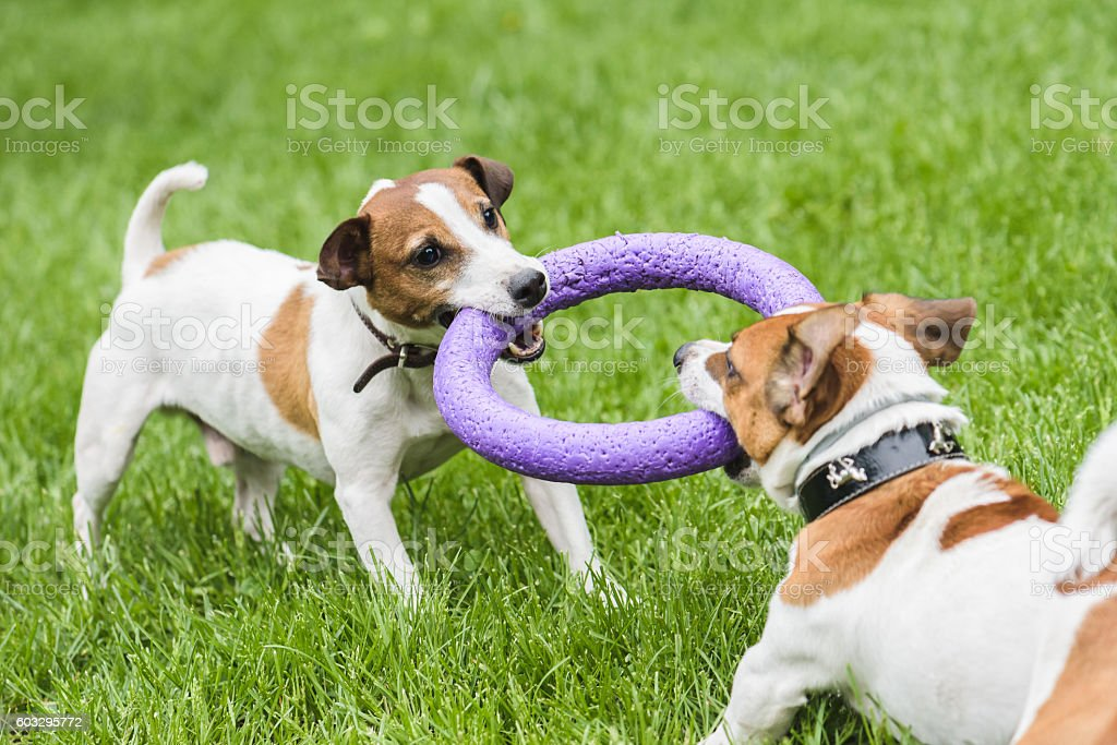 Two dogs struggle playing tug war game stock photo