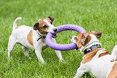 Two dogs struggle playing tug war game