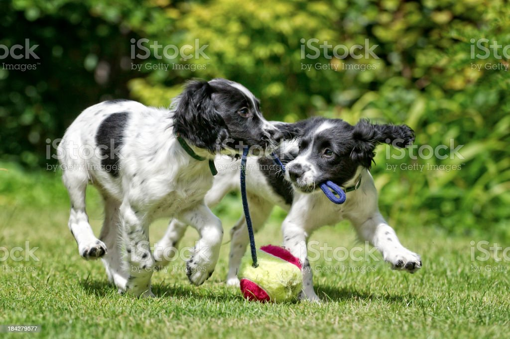 Two dogs working and playing together outside royalty-free stock photo