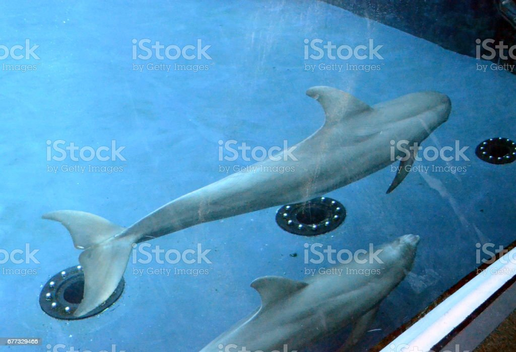 Two dolphins at the aquarium of Genoa stock photo