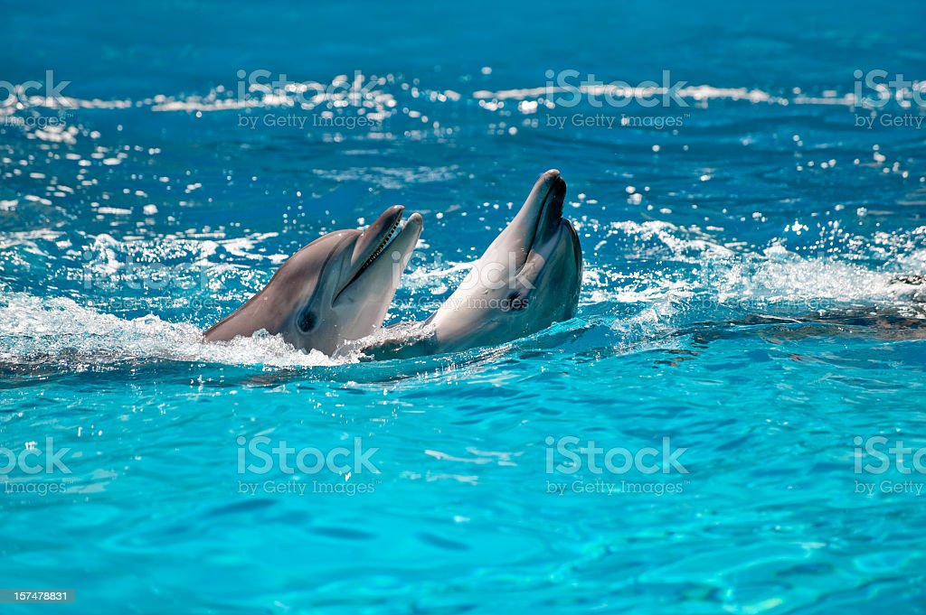 Two Dolphins in a blue water stock photo