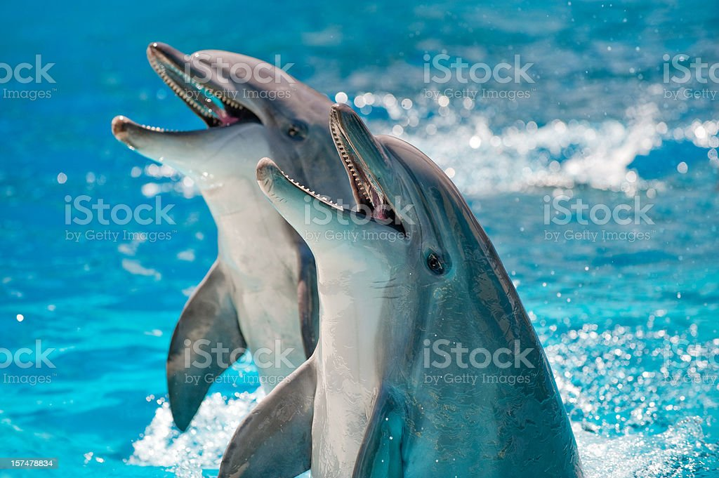 Two Dolphins in a blue water royalty-free stock photo