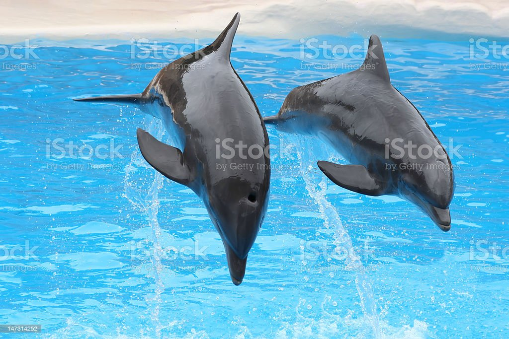 Two dolphins jumping royalty-free stock photo