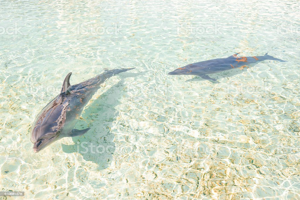 Two dolphins swimming in the shallow waters stock photo