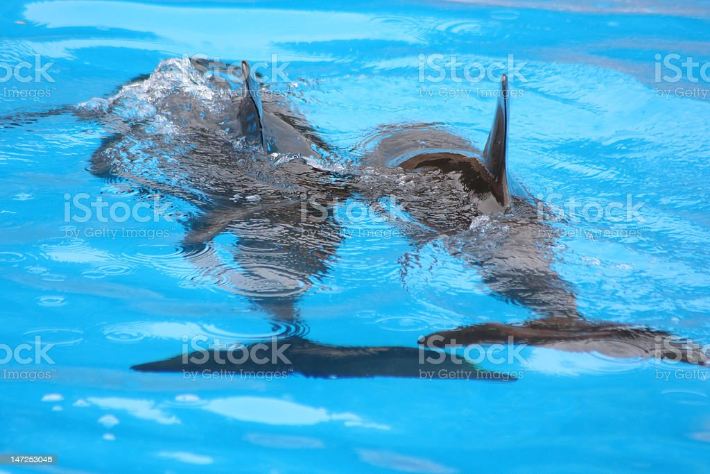 Two dolphins swimming royalty-free stock photo