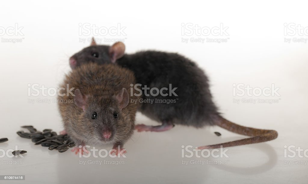two domestic rat stock photo