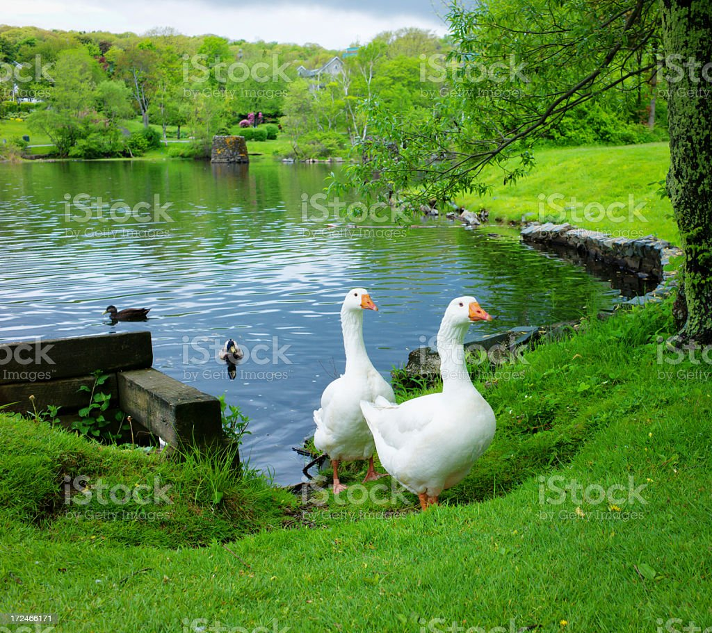 Two Domestic White Geese Near a pond. stock photo