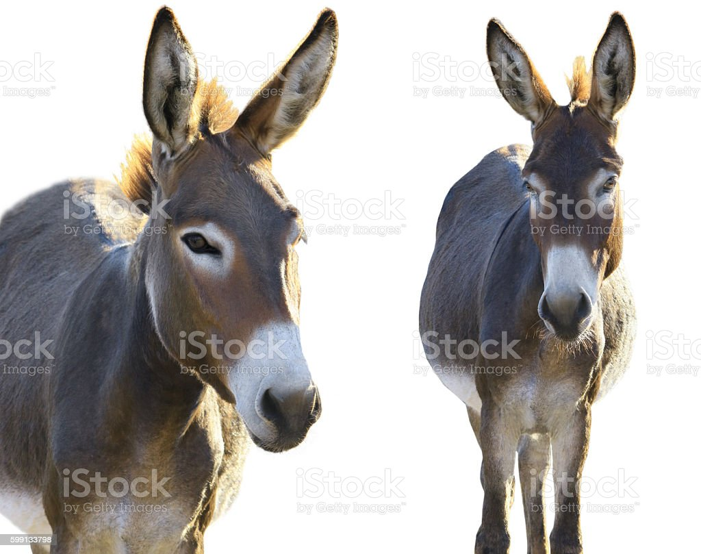 two Donkey stock photo