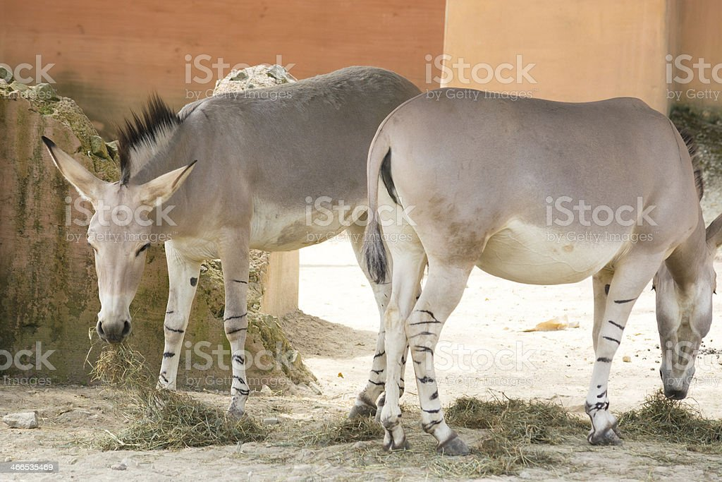 Two donkeys grazing grass in an abandoned yard royalty-free stock photo