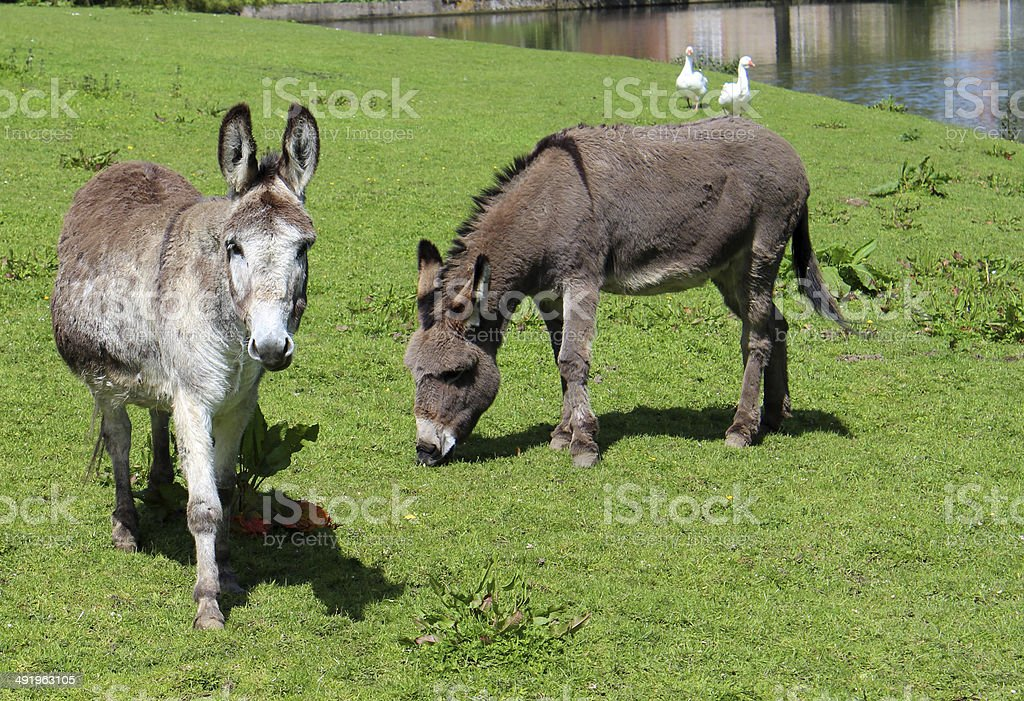 Two donkeys in countryside field at farm, grazing grass image royalty-free stock photo