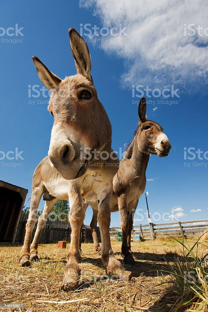 Two donkeys stock photo