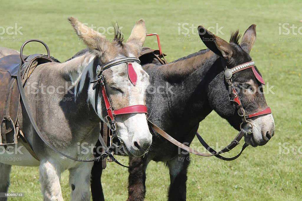 Two Donkeys. royalty-free stock photo