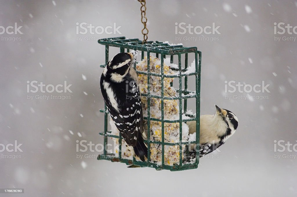 Two downy woodpeckers on a basket feeder stock photo