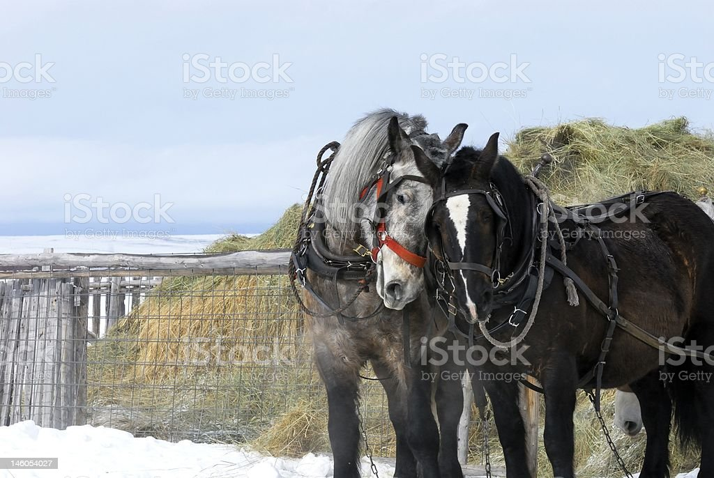 Two Draft Horses working stock photo