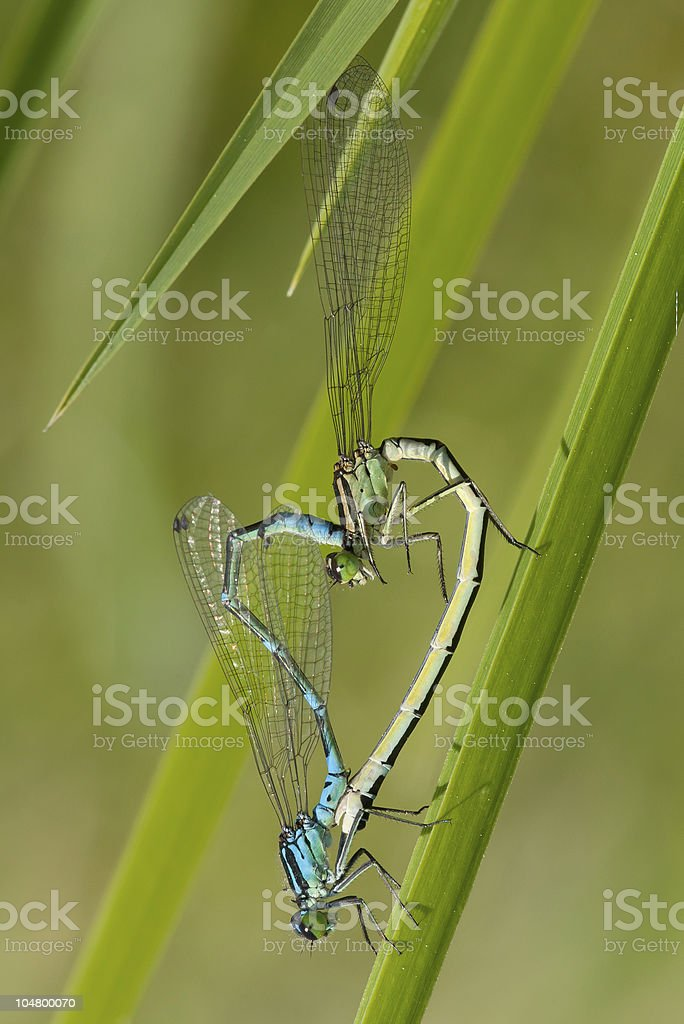 two dragonflies making sex stock photo
