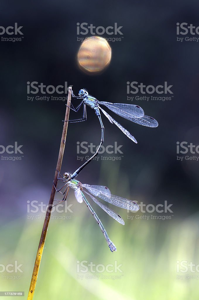 Two Dragonflys royalty-free stock photo