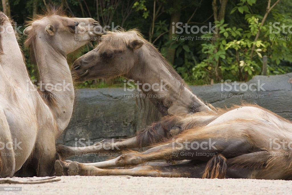 two Dromedary royalty-free stock photo