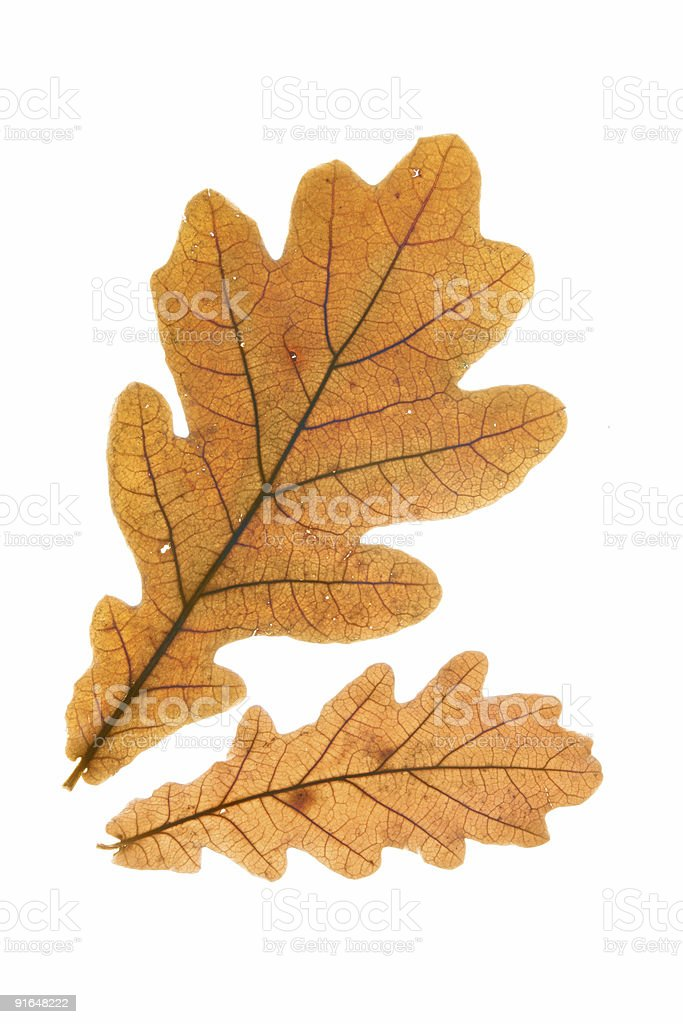 Two dry oak leaves stock photo