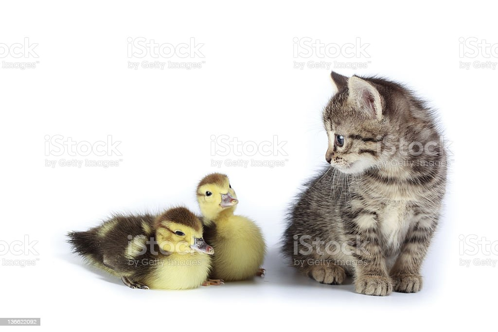 two ducks and kitten royalty-free stock photo