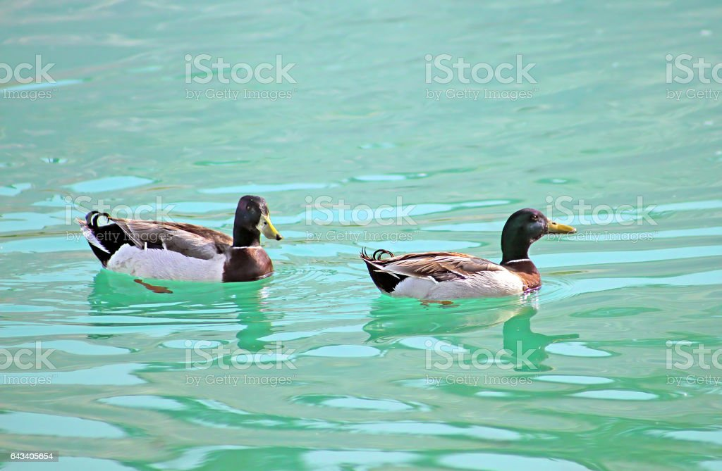 Two ducks are swimming on the lake stock photo