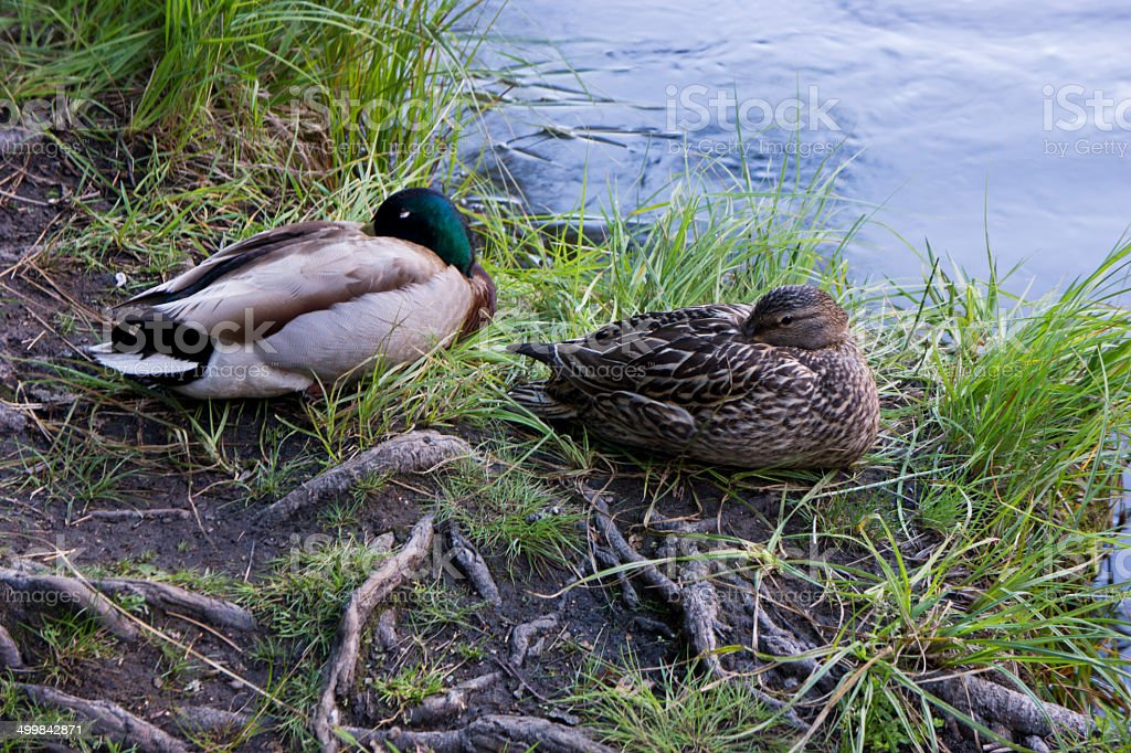 Two Ducks at Rest stock photo