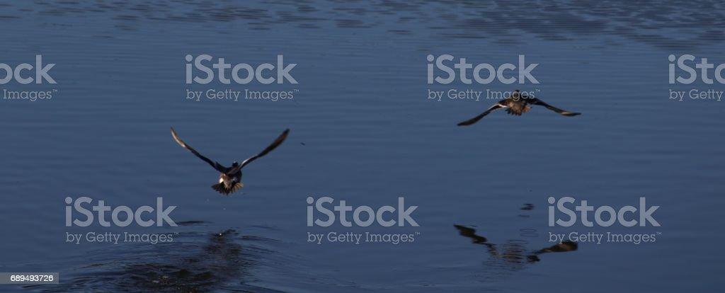 Two ducks flying away stock photo