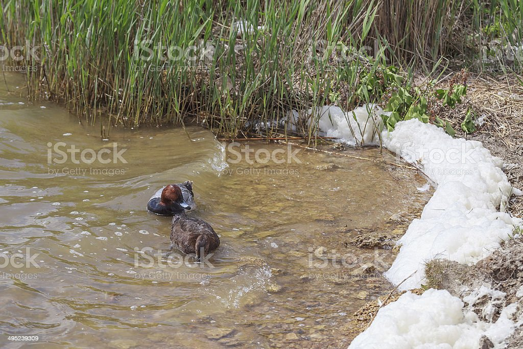 Two ducks in water stock photo