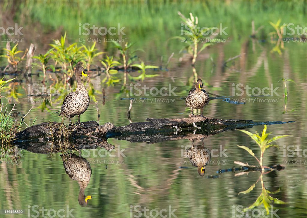 Two ducks on a trunk stock photo